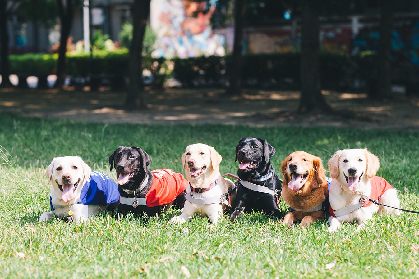 六隻導盲犬,分別穿著導盲鞍、培訓中紅色與藍色背心,趴成一排,看起來很開心!