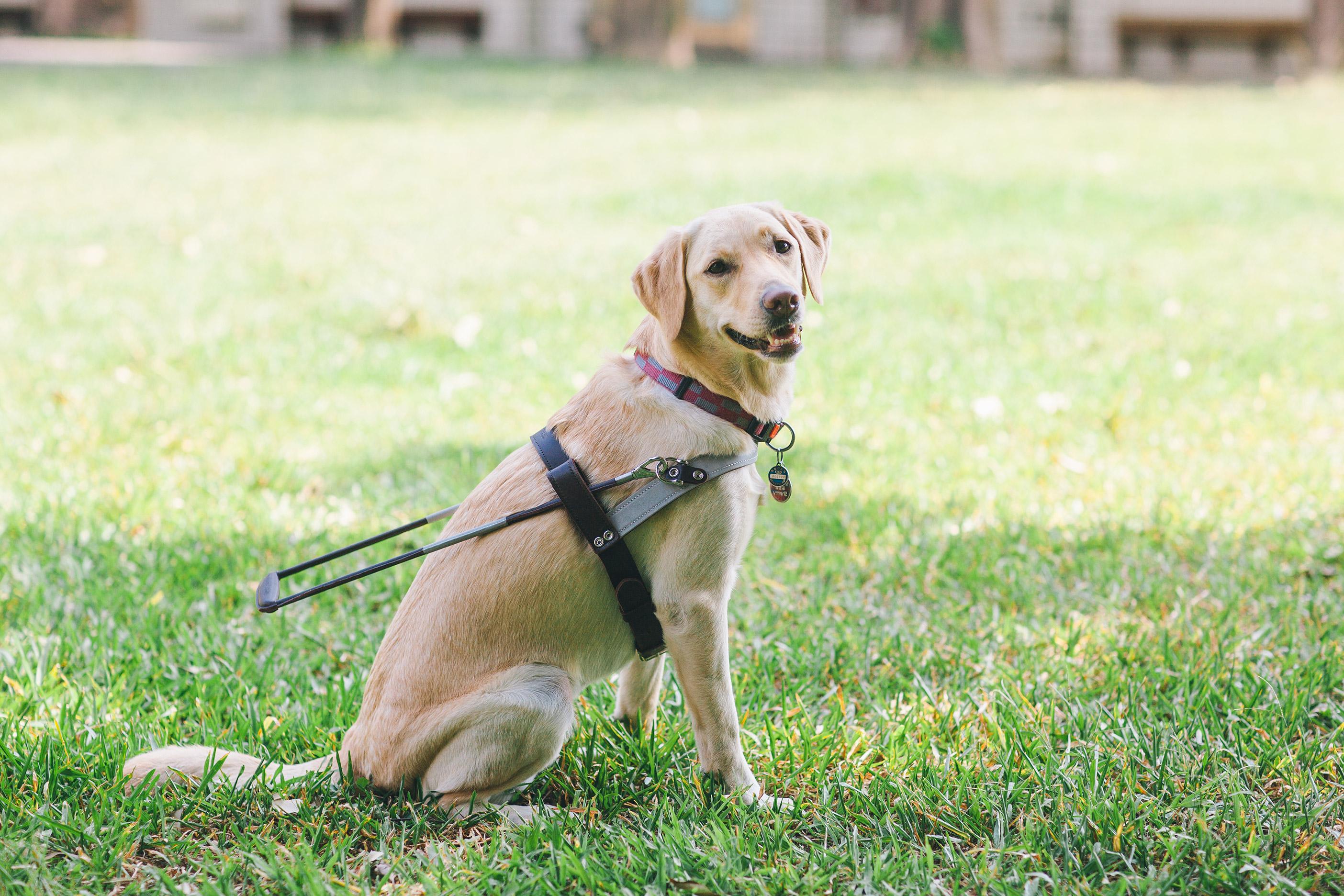 黃色的導盲犬戴著導盲鞍坐在草地上