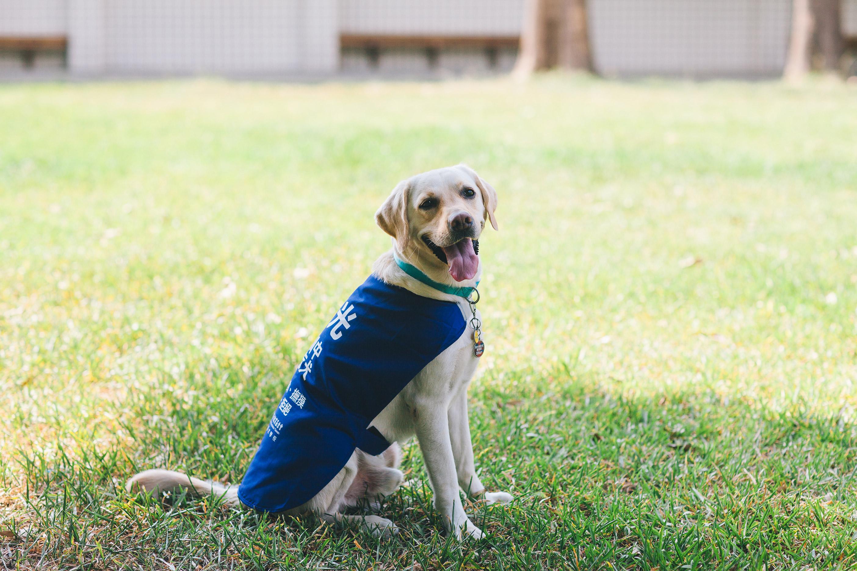 白色的種犬穿著藍色背心坐在草地上
