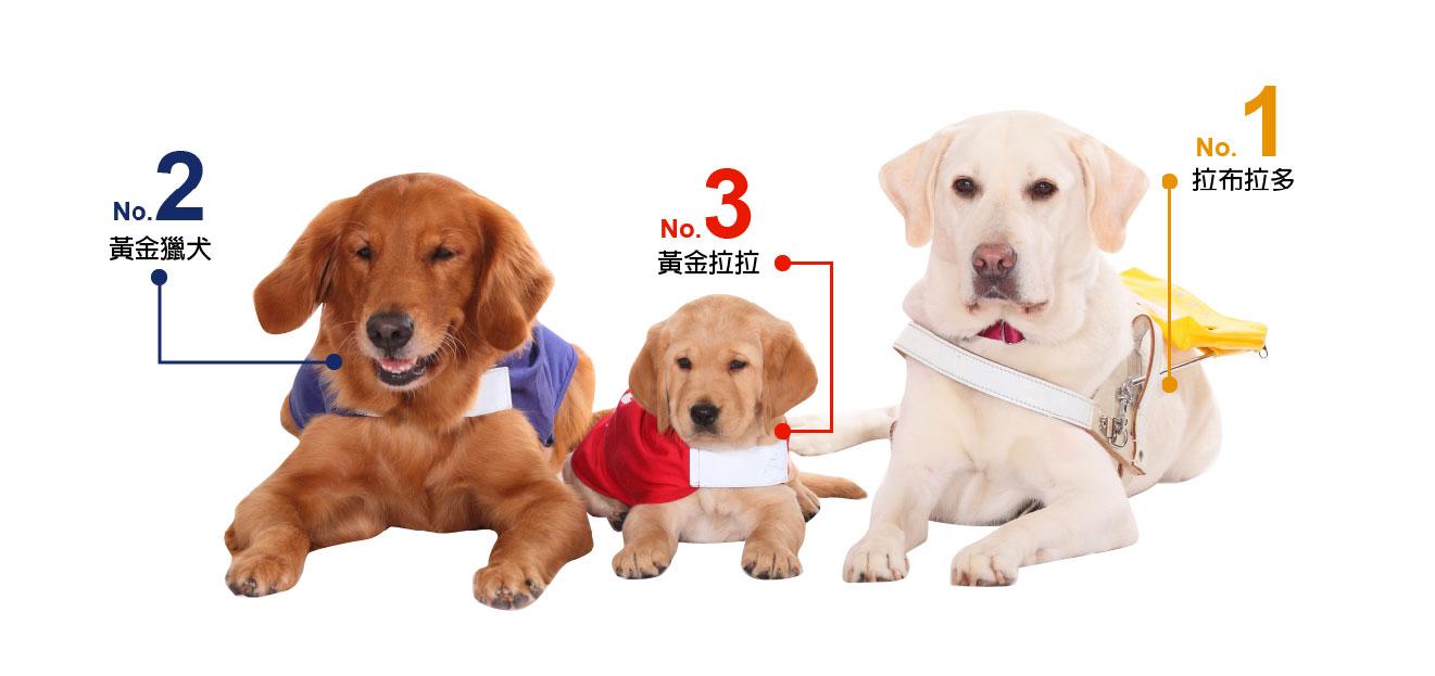 導盲犬品種第一名是親人可愛的拉布拉多、第二名是聰明的黃金獵犬、第三名是結合倆著優點的黃金拉拉喔!