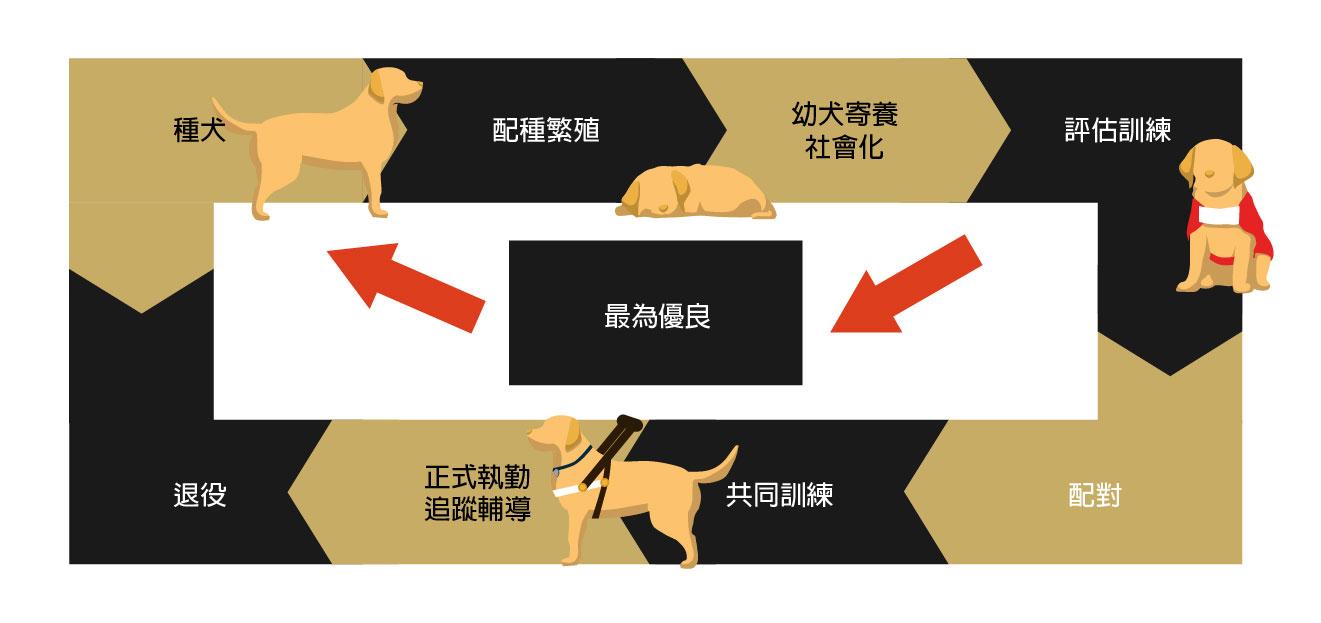 導盲犬一生的示意圖