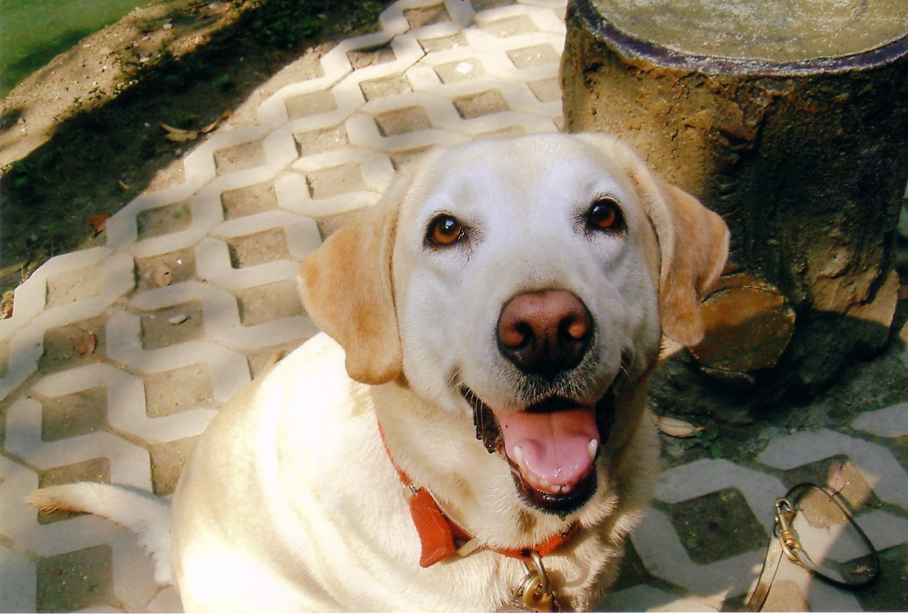 台灣第一隻導盲犬Aggie,白色的Aggie對著鏡頭露出大大的微笑。