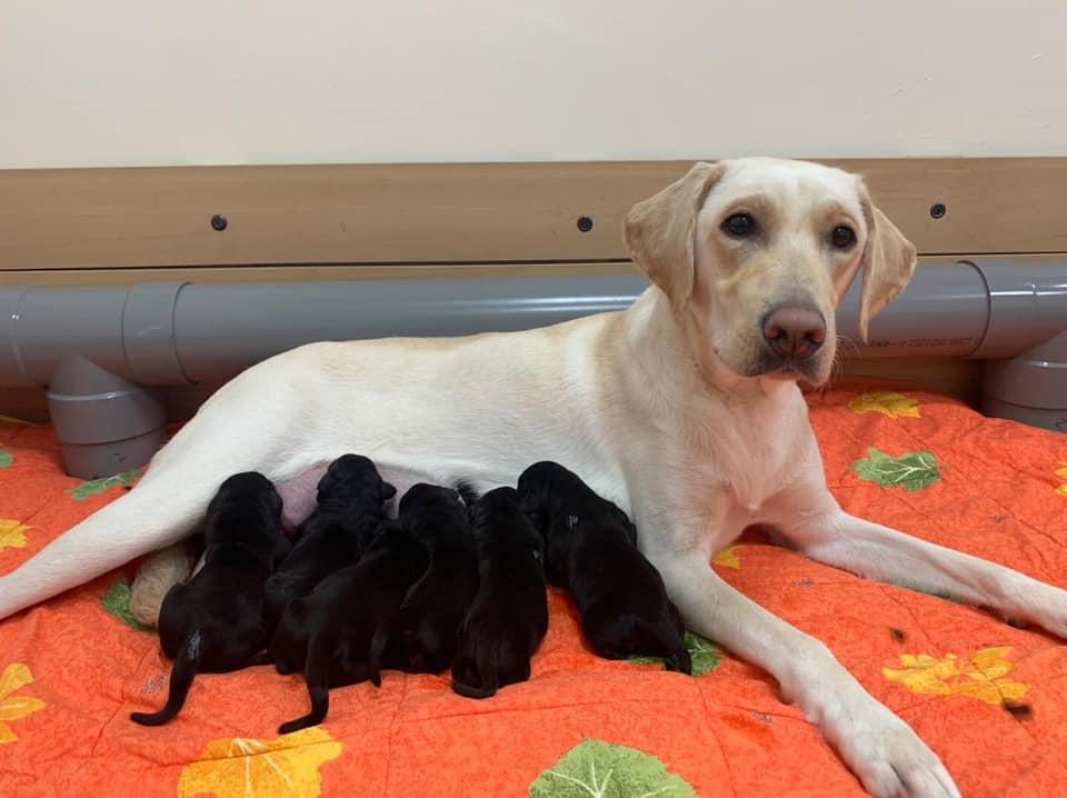 白色媽媽Wapitan側躺著哺乳,與六隻黑色的L胎寶寶形成強烈對比。