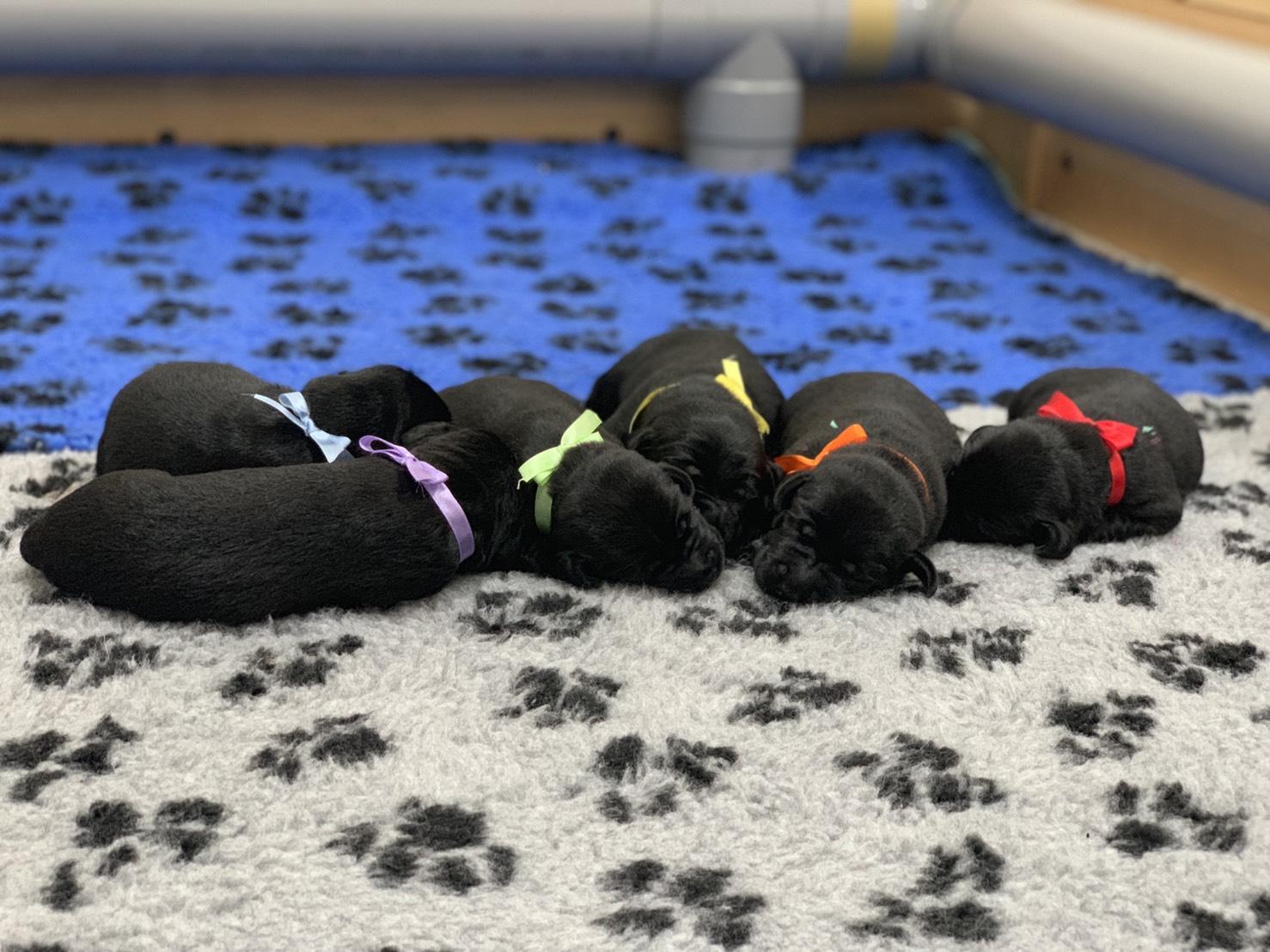 六隻黑色幼犬分別綁上紅色、橙色、黃色、綠色、藍色與紫色緞帶,窩再一起睡覺。